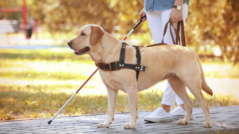 8 curiosidades sobre o cão-guia